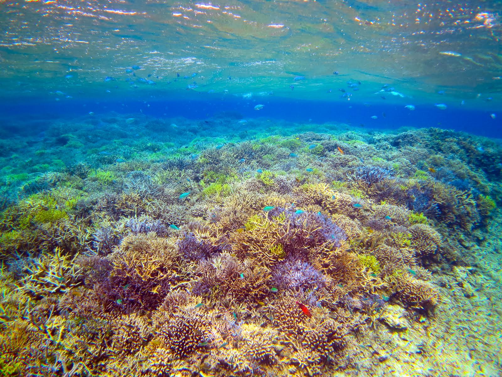 7月の小浜島のカラフルサンゴ