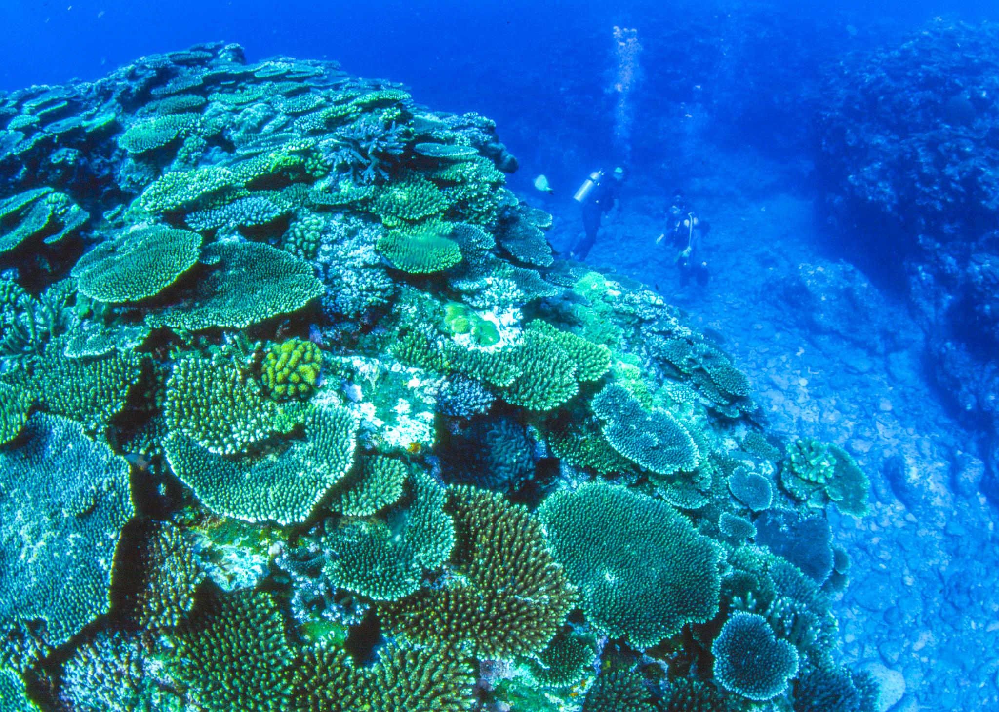 テーブルサンゴで埋め尽くされた小浜島の海