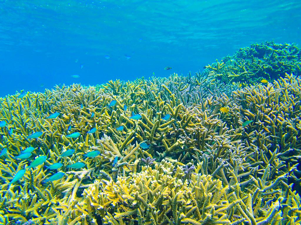 近くの石西礁湖ではカラフルサンゴの海底が広がっている